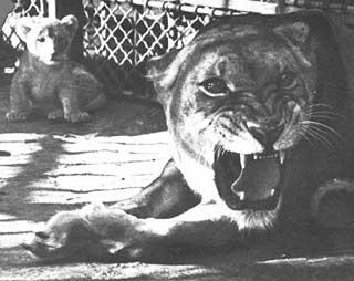 La Fauverie : une lionne et un de ses lionceaux.
