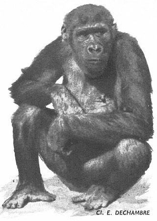 Femelle de Gorille (Afrique équatoriale)