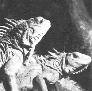 Iguanes (Venezuela)